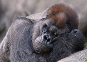 A look into the soul of JoJo, the 32 year old Western Lowland Gorilla at Brookfield Zoo...