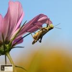 Grasshopper~ Acrididae